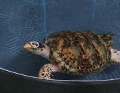 tartarughe Bequia